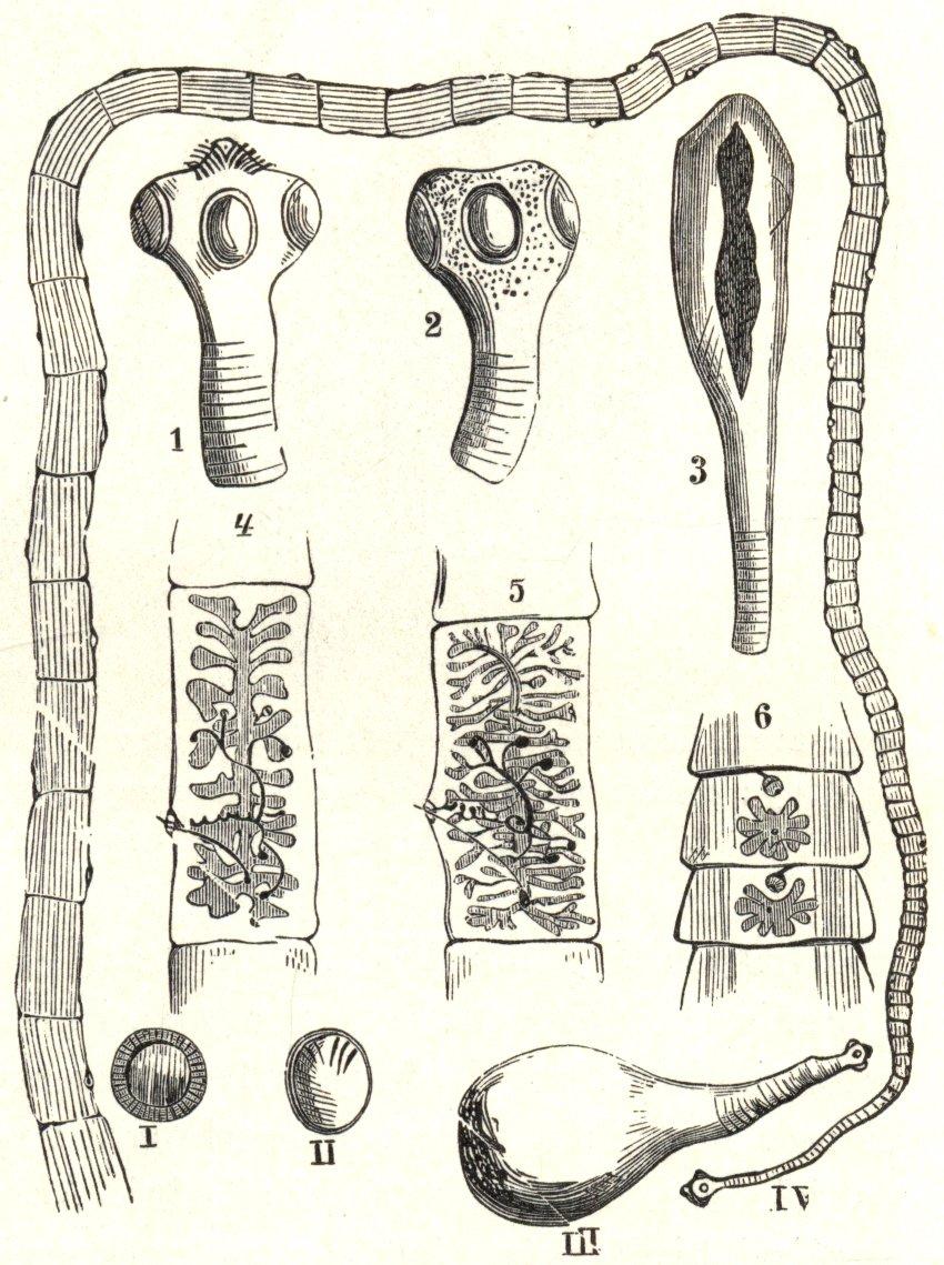 Élet és tudomány - A galandféreg, a pocok és a szürkemarha